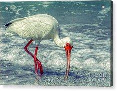 Ibis Feeding Acrylic Print
