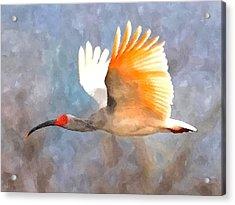 Ibis In Flight Acrylic Print