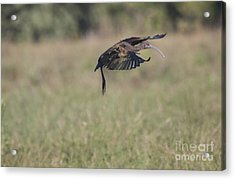 Ibis In Flight Acrylic Print