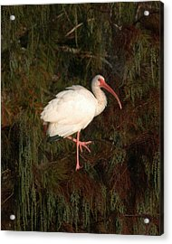 Ibis In The Cypress Acrylic Print by Jeff Wright