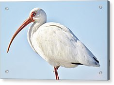 Ibis In The Marsh Acrylic Print by Paulette Thomas