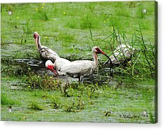 Ibis In Willow Pond Acrylic Print