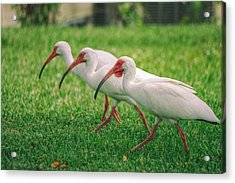 Ibis Lawn Service Acrylic Print by Dennis Baswell