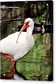 Ibis Acrylic Print by Will Boutin Photos