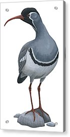 Ibisbill Acrylic Print by Anonymous