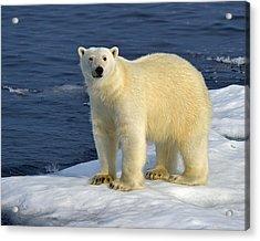 Ice Bear Acrylic Print