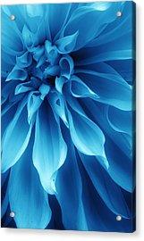 Ice Blue Dahlia Acrylic Print