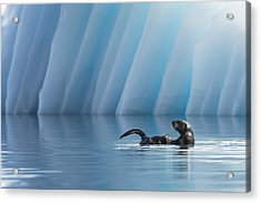 Otter Pop Acrylic Print by Ted Raynor