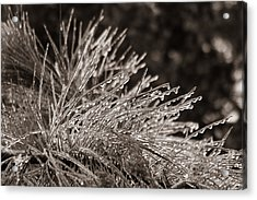 Ice On Pine Acrylic Print