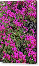 Ice Plant Along The Pacific Ocean Acrylic Print by Chuck Haney