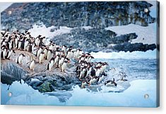 Ice Swimmers Acrylic Print by David Merron Photography