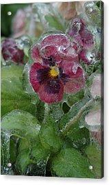 Iced Purple Pansy Acrylic Print
