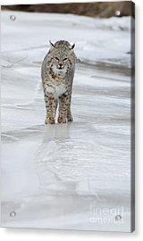 Iced Acrylic Print by Wildlife Fine Art