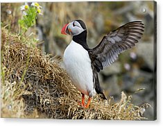 Iceland Close-up Of Puffin Flapping Acrylic Print by Jaynes Gallery