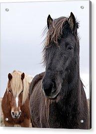 Iceland Horses Acrylic Print