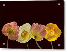 Iceland Poppies On Black Acrylic Print