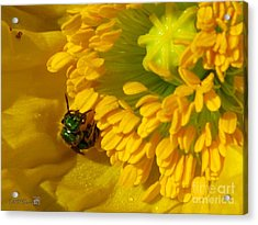 Acrylic Print featuring the photograph Iceland Poppy Pollination by J McCombie