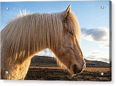 Iceland Portrait Of Icelandic Horse Acrylic Print