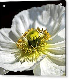 Iceland White Poppy Acrylic Print by Julie Palencia