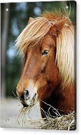 Icelandic Horse Acrylic Print by Bildagentur-online/mcphoto-schulz
