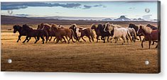 Icelandic Horses Galloping Over The Acrylic Print by Coolbiere Photograph