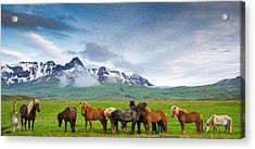 Icelandic Horses In Mountain Landscape In Iceland Acrylic Print