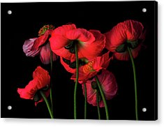 Icelandic Poppies - The View From Down Acrylic Print
