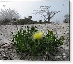 Iceplant Bloom On Carmel Dunes Acrylic Print