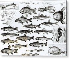 Ichthyology Acrylic Print by English School