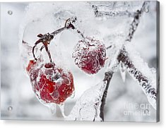 Icy Branch With Crab Apples Acrylic Print by Elena Elisseeva