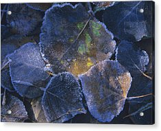 Icy Leaves Acrylic Print