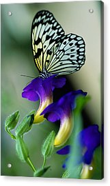Idea Lecomoe Tree Nymph Butterfly On Acrylic Print by David Q. Cavagnaro