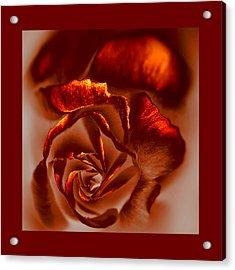 If A Rose Is A Rose Acrylic Print by Li   van Saathoff