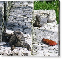 Acrylic Print featuring the photograph Iguana Bask In The Sun With You by Patti Whitten
