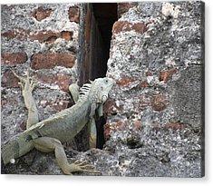 Acrylic Print featuring the photograph Iguana by David S Reynolds