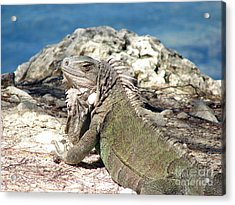 Iguana In The Sun Acrylic Print