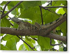 Iguana In Tree Acrylic Print by Dan Friend