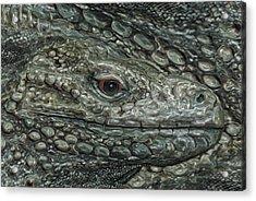 Iguana Acrylic Print by Jack Zulli