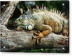 Iguana Acrylic Print by Jelena Jovanovic