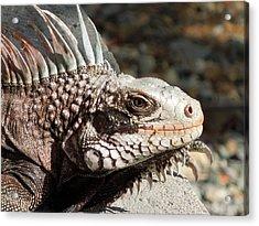 Iguana Acrylic Print by Jodi Terracina