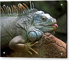 Iguana Lizard Acrylic Print by Tilen Hrovatic
