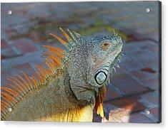 Iguana, Puerto Vallarta, Jalisco, Mexico Acrylic Print by Douglas Peebles