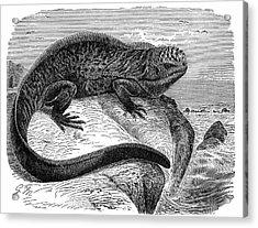 Iguana Acrylic Print by Universal History Archive/uig