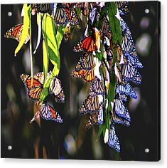 Illuminated Beauties Acrylic Print