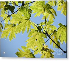 Acrylic Print featuring the photograph Illuminated Leaves by Gayle Swigart
