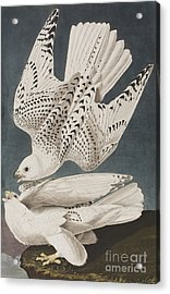 Illustration From Birds Of America Acrylic Print by John James Audubon