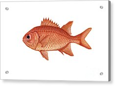 Illustration Of A Brick Soldierfish Acrylic Print by Carlyn Iverson