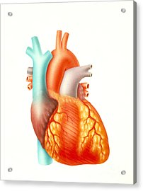 Illustration Of The Human Heart Acrylic Print by Carlyn Iverson