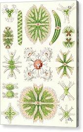 Illustration Shows Algae. Desmidiea. - Bierdinge Acrylic Print by Artokoloro