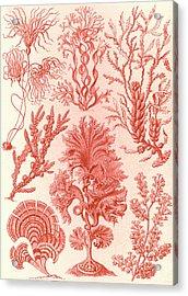 Illustration Shows Algae. Fucoideae. - Brauntange Acrylic Print by Artokoloro